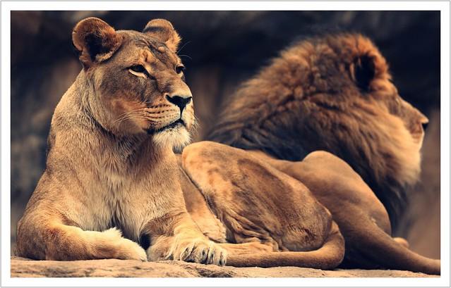 Dresden Lions