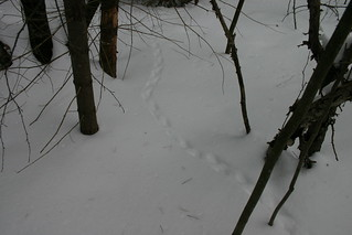 Turkey tracks in the snow