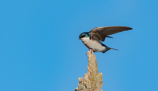 Hirondelle bicolore // Tree Swallow