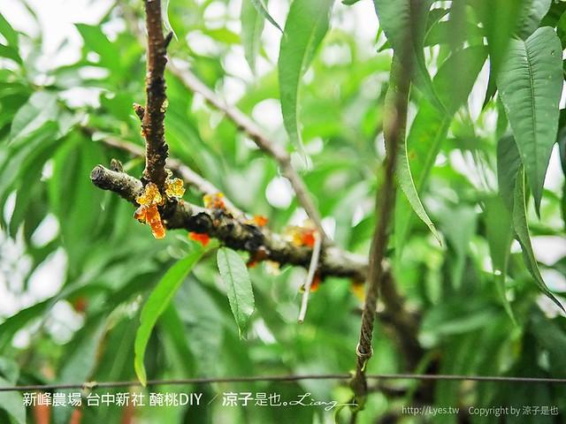 新峰農場 台中新社 醃桃DIY 9