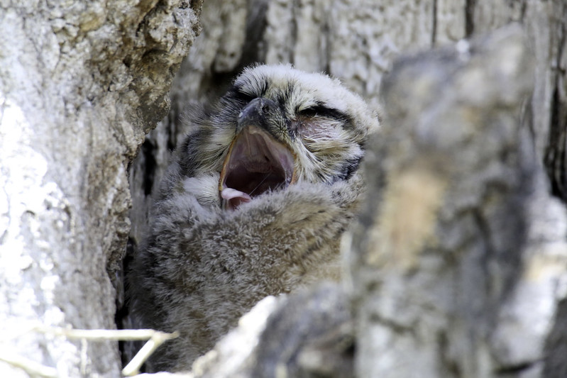 2019 4 28 - Yawning Owl Chick - 9S3A8429