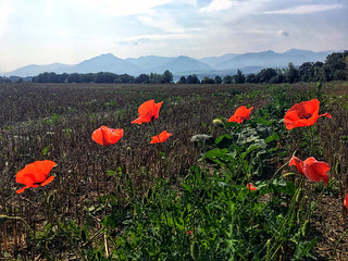 mountains and poppies, Slovakia