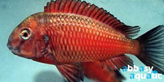 Tropheus Red Morii