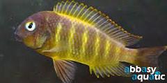 Tropheus Bricardi Bulombora