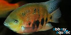 Chisel-tooth cichlid