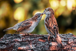 Sparrow feeding young | by Cagey75