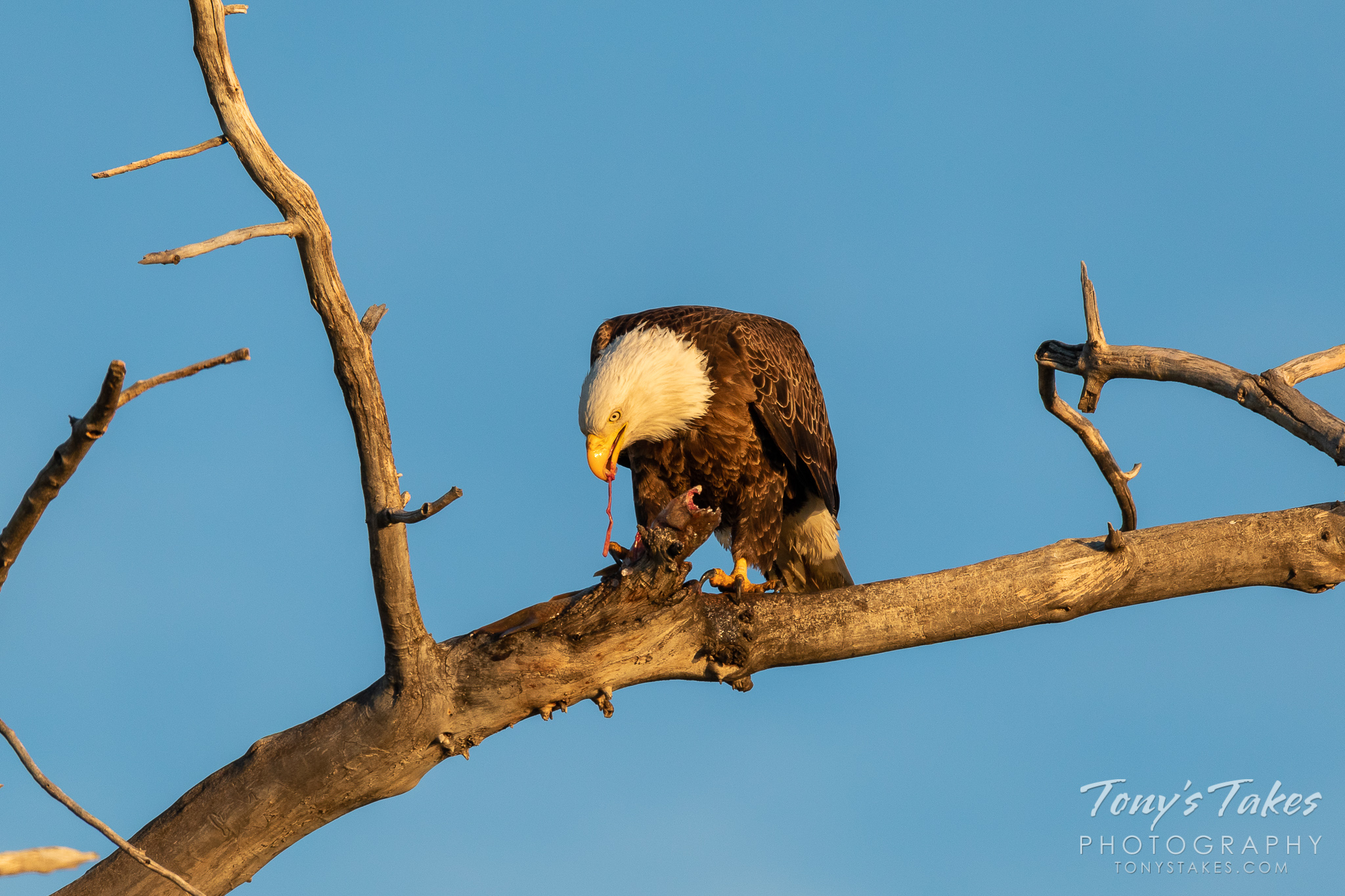 A bald eagle dines on fresh carp. (© Tony's Takes)