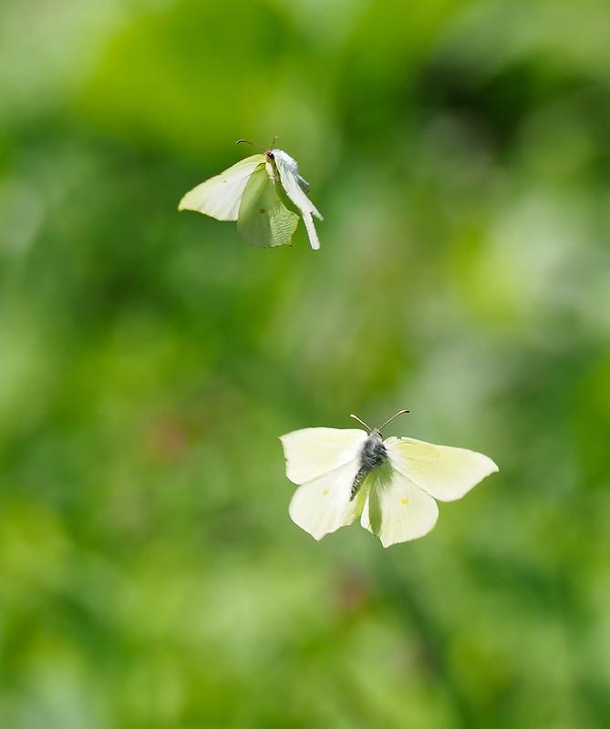 Brimstone male and female in flight