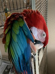 Bama my green wing macaw out on my lanai.