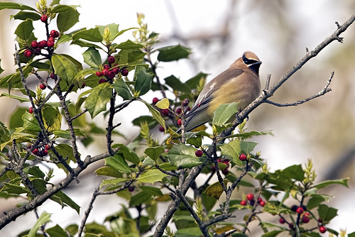 Sandy Hook: Cedar Waxwing Amongst the Berries