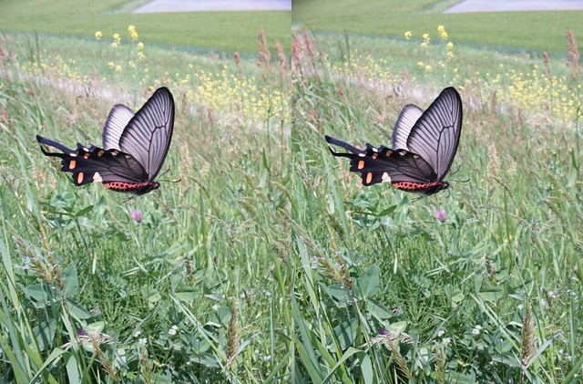 Byasa alcinous, stereo parallel view