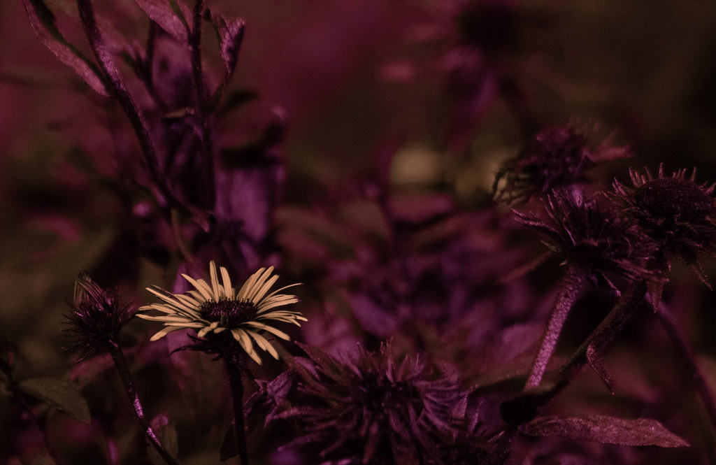 Inula ensifolia UV