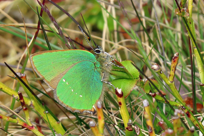 Green Hairstreak - Callophrys rubi