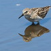 Least Sandpiper at Sandy Hook