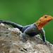 Agama Lizard, Fairchild Tropical Botanic Garden. by pedro lastra