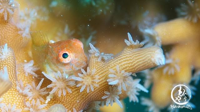 極々小インドカエルウオ幼魚ちゃん♪
