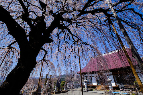 The weeping cherry tree in Syurinji temple