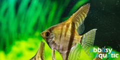 rio xingu anglefish
