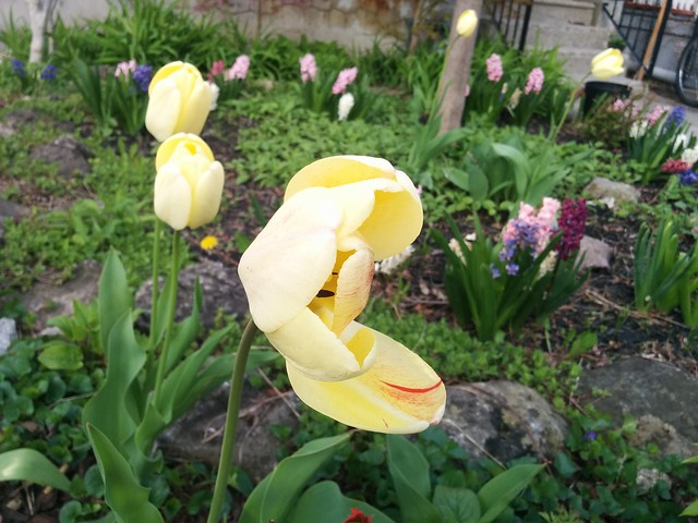 Pale yellow tulip blown open #toronto #dovercourtvillage #bartlettavenue #flowers #tulips #yellow #latergram