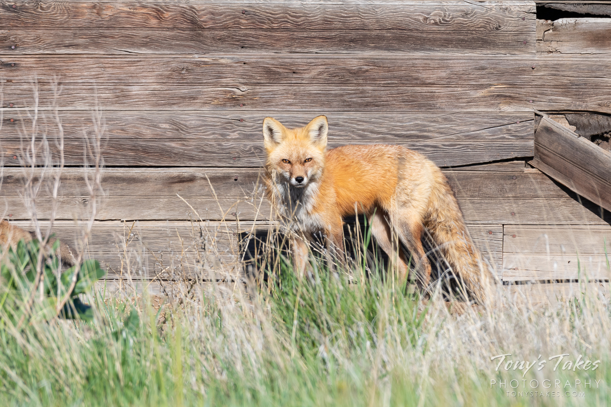 A male red fox keeps close watch near its den in northern Colorado. (© Tony's Takes)