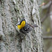Yellow-throated warbler (1) by mouradjabra