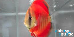 Virgin Red Discus