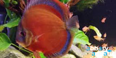 Rose Red Discus