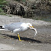 Yellow-legged Gull with Gray Mullet.