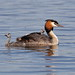 "Great crested grebe ""podiceps cristatus"" by michael.jh"