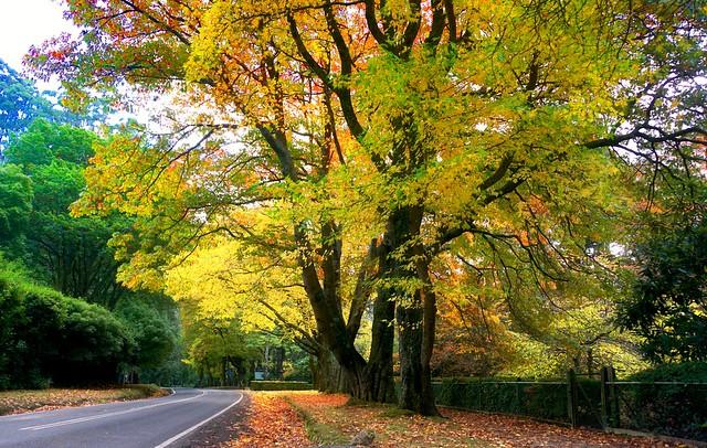 More Autumn leaves - Mt Dandenongs