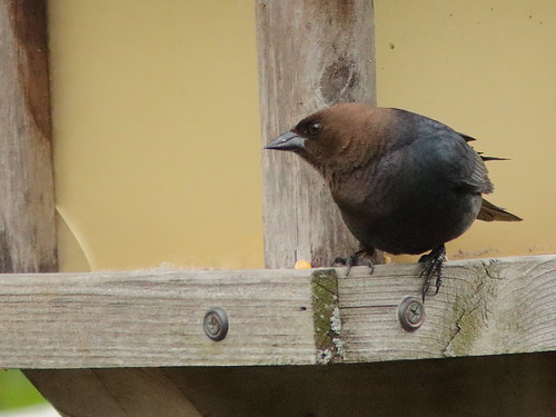 Brown-headed Cowbird 01-20190512
