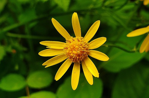 Golden Ragwort Flower