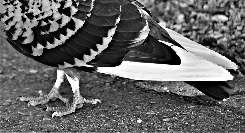 Pigeons 16.05 (4)