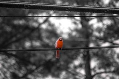 Surveillance cardinal on wire.
