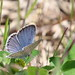 Eastern Tailed-Blue at Sandy Hook