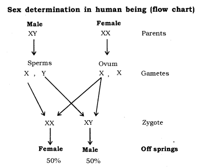 Heredity and Evolution Class 10 Notes Science Chapter 9 3