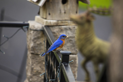Bluebird with Stinkbug