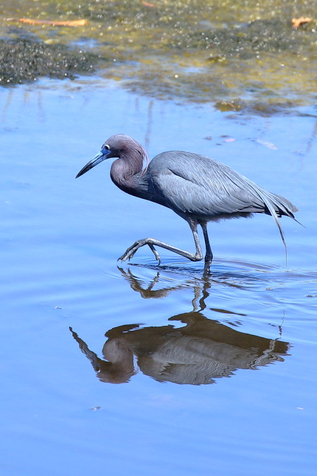 Little Blue Heron, San Diego Co., CA_4160(1)