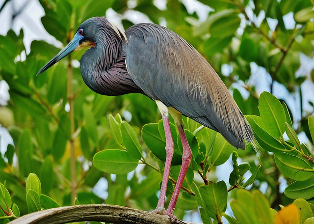 Tricolored Heron in Mating Plumage (Egretta tricolor)