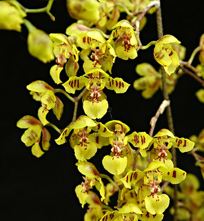 Oncidium cornigerum | by emmily1955