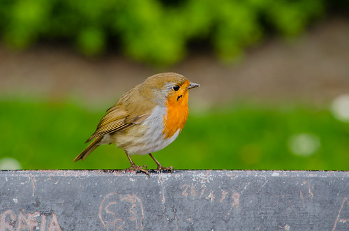 Robin on bench, West Park