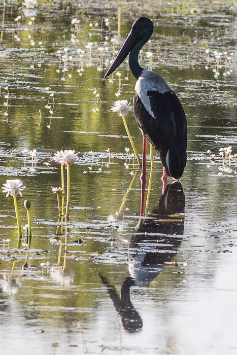 Black-necked Stork  - female