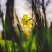 #365 - Daffodil / Narcis