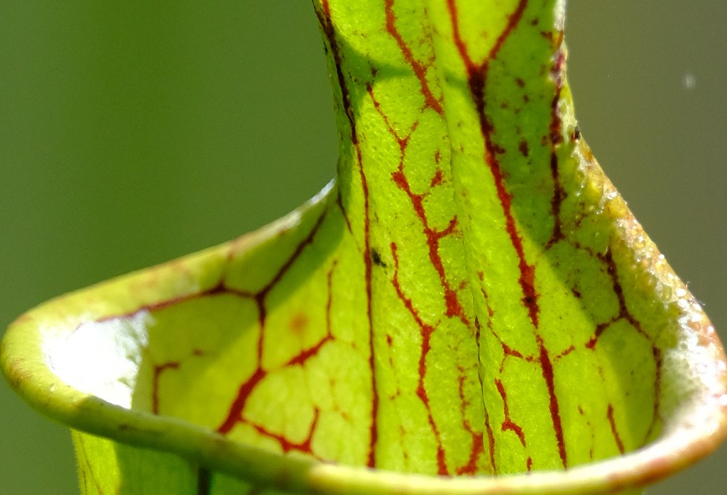 Sarracenia oreophylla