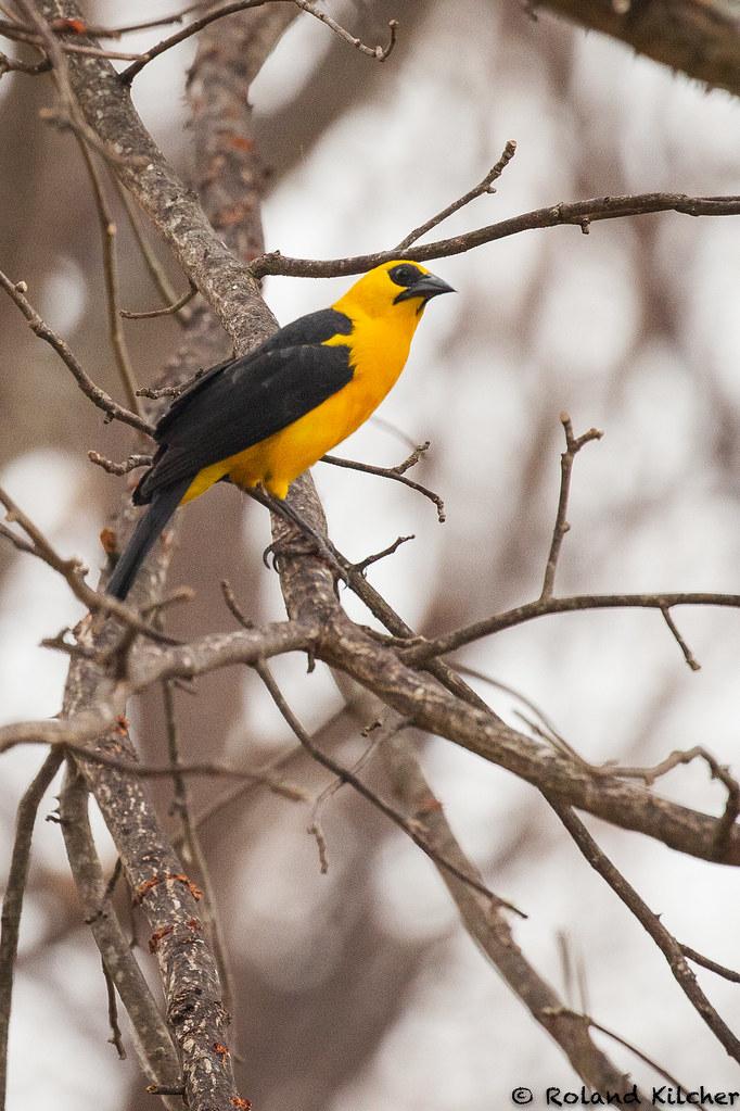 Blackbird, Oriole