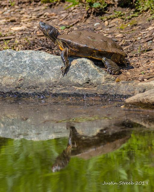 Turtle Reflection