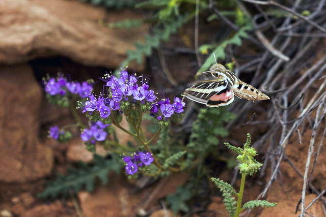 White Lined Sphinx Moth Attending Scorpion Weed