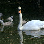 Swan family on the Preston canal
