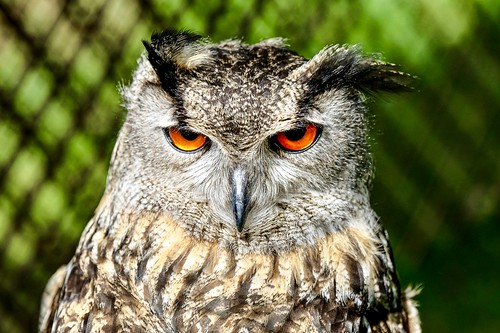 Eagle Owl | by Chris_Pric