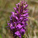 Marsh-orchid